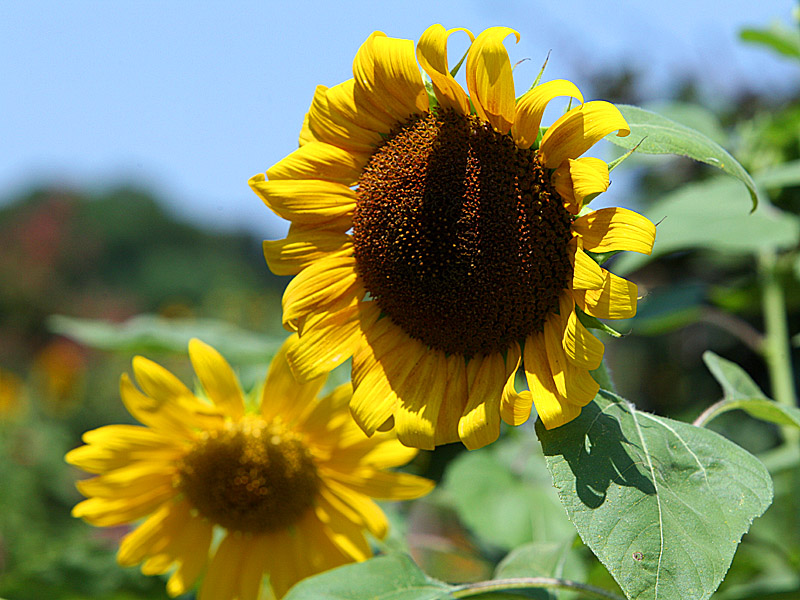 sunflower01.jpg